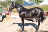 Продаются лошади Украинской верховой породы