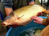 Оптовый покупатель рыбы ищет поставщиков.