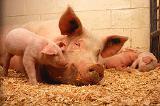 Премикс та БВМД для свиней виробництво Україна-Німеччина, Доставка по Україні безкоштовна