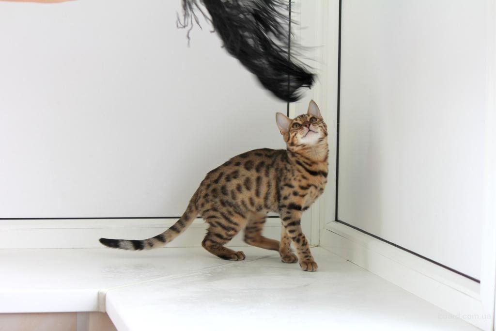 бенгальский котенок - продам. Цена 6 000 грн. купить ...: http://www.board.com.ua/m1012-2002029268-bengalskij-kotenok.html