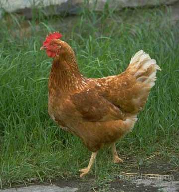 Продам мясо птицы курица утка гусь