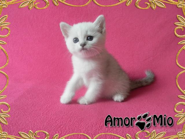фото серебристая котята шиншилла