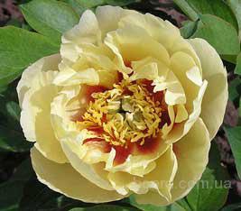 Свыше 80 сортов пиона.  Взрослые, цветущие кусты.  Японские, махровые сорта.  Редкие черные, желтые, двухцветные...