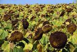 ооо нпп агро-ритм реализует семена подсолнечника Любаш