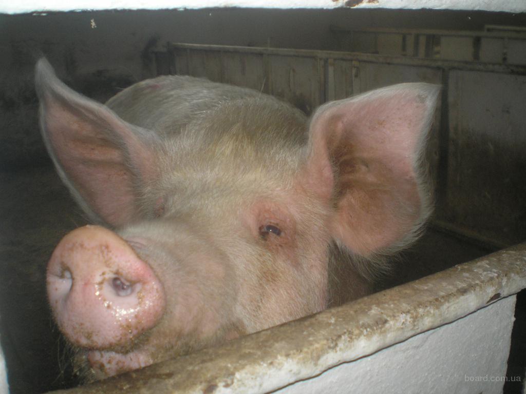 Продаєм  свиней, поросят,
