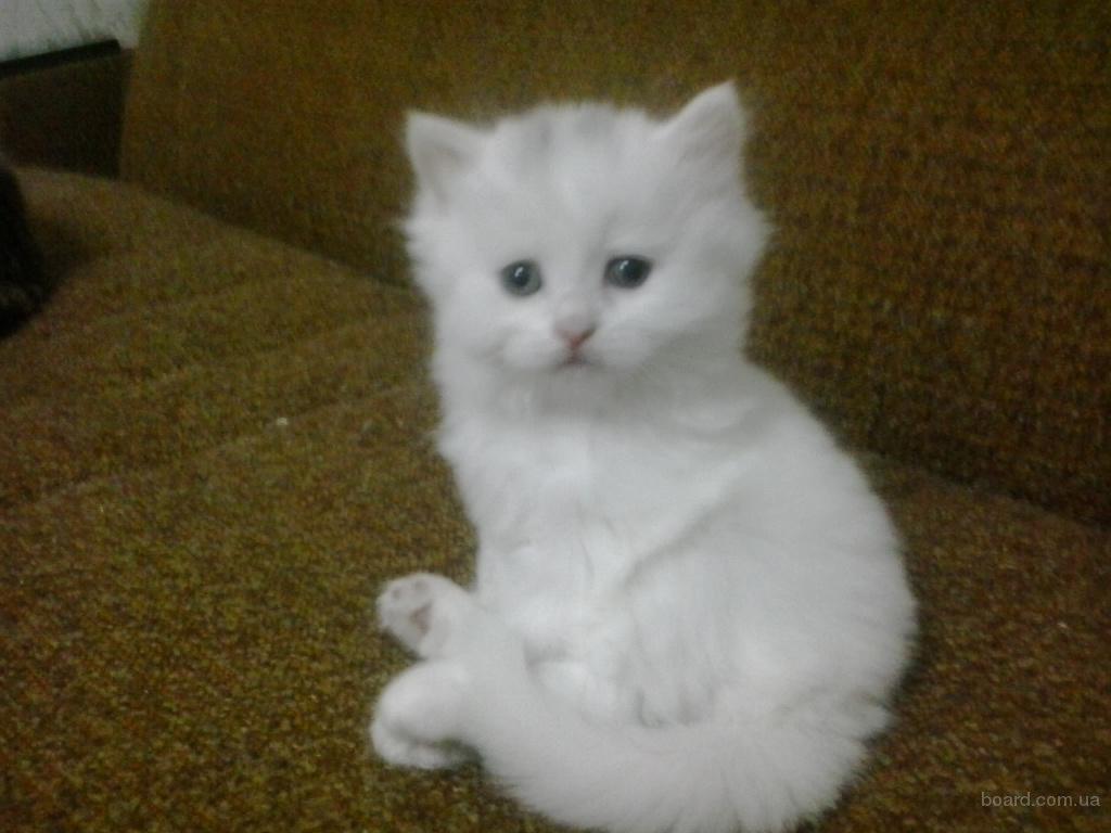 шотландские прямоухие коты фото