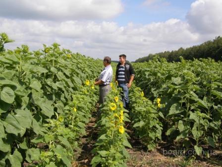 Семена подсолнечника.: Украинский ф1, Украинское солнышко, Заграва