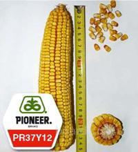 Семена кукурузы Пионер