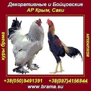 Породистые куры Брама, яйцо, цыплята. АР Крым