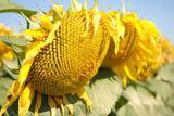 Насіння соняшника/семена подсолнечника