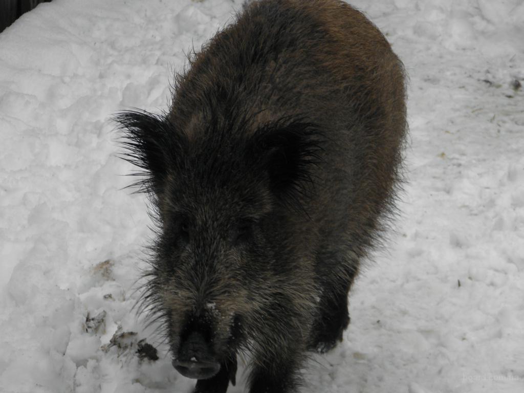 Продам дикую свинью