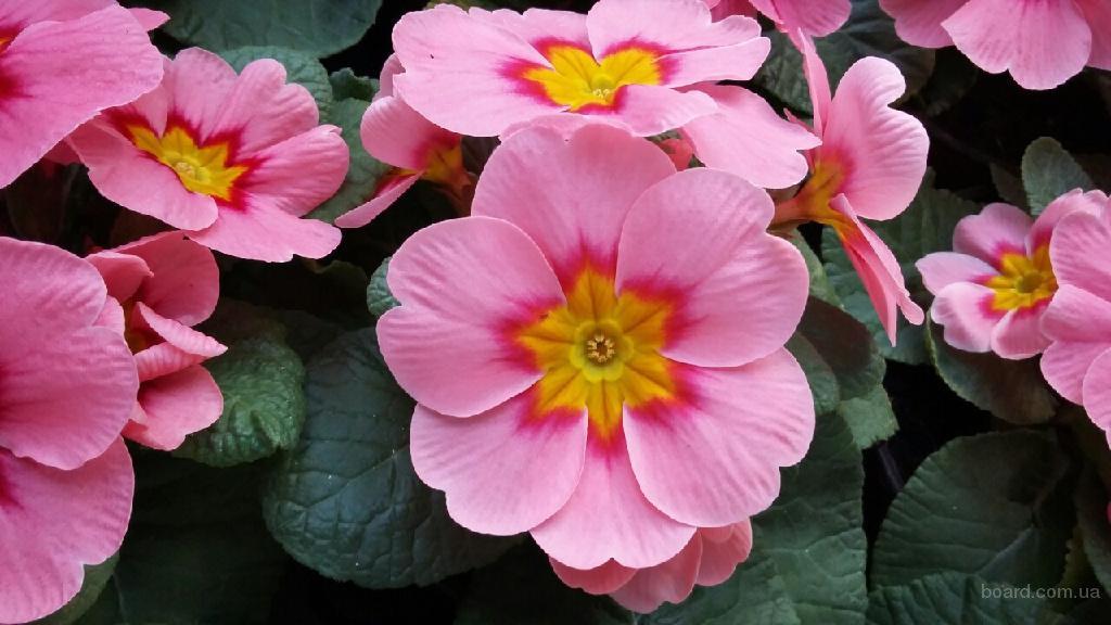 Подарунки до 8 березня. Квіти, Примула, Бегонія, ціна, купити, опт.