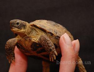 Черепаха сухопутная среднеазиатская - ручные черепашки