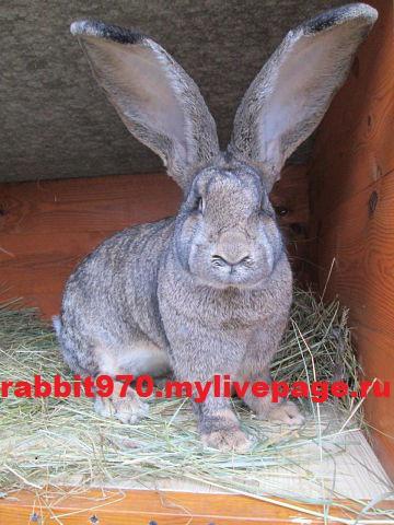 Продам кроликов породы бельгийский