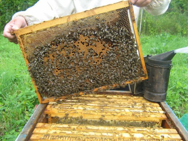 Пчелопакеты можно оценивать как полноценную семью в начальной стадии своего...