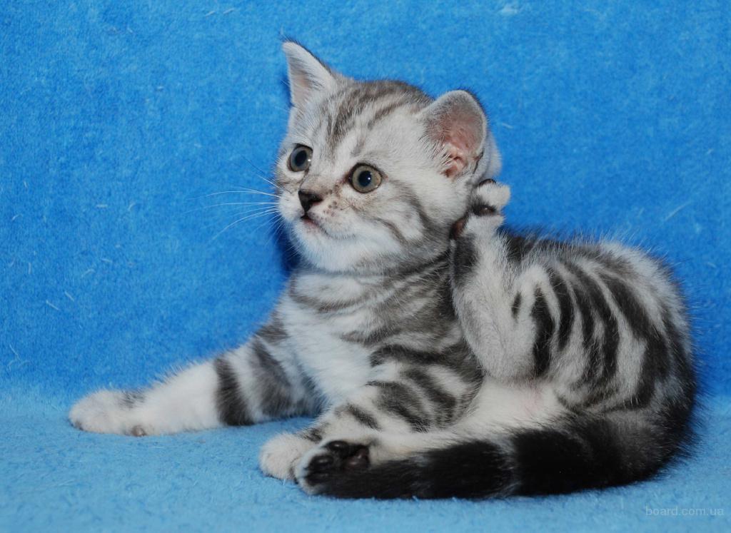 Британские котята окраса вискас (черный мрамор на серебре)