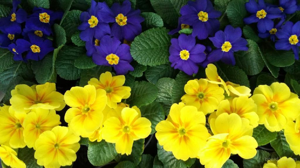 Подарки на 8 марта, Примула, Бегония, весенние цветы, цветы магазин г.Киев