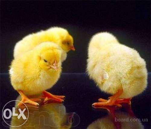 продам яйце інкубаційне,продам яйце бройлерне інкубаційне, послуги інкубації, молодняк всіх видів птиці