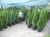 Туя, туя западная, туя Киев купить, туя смарагд 150-175 см, озеленение