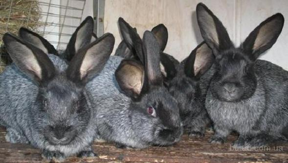 Продаю кроликов породы серебристый без комбикорма
