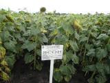 Семена гибридов подсолнечника Ясон F1