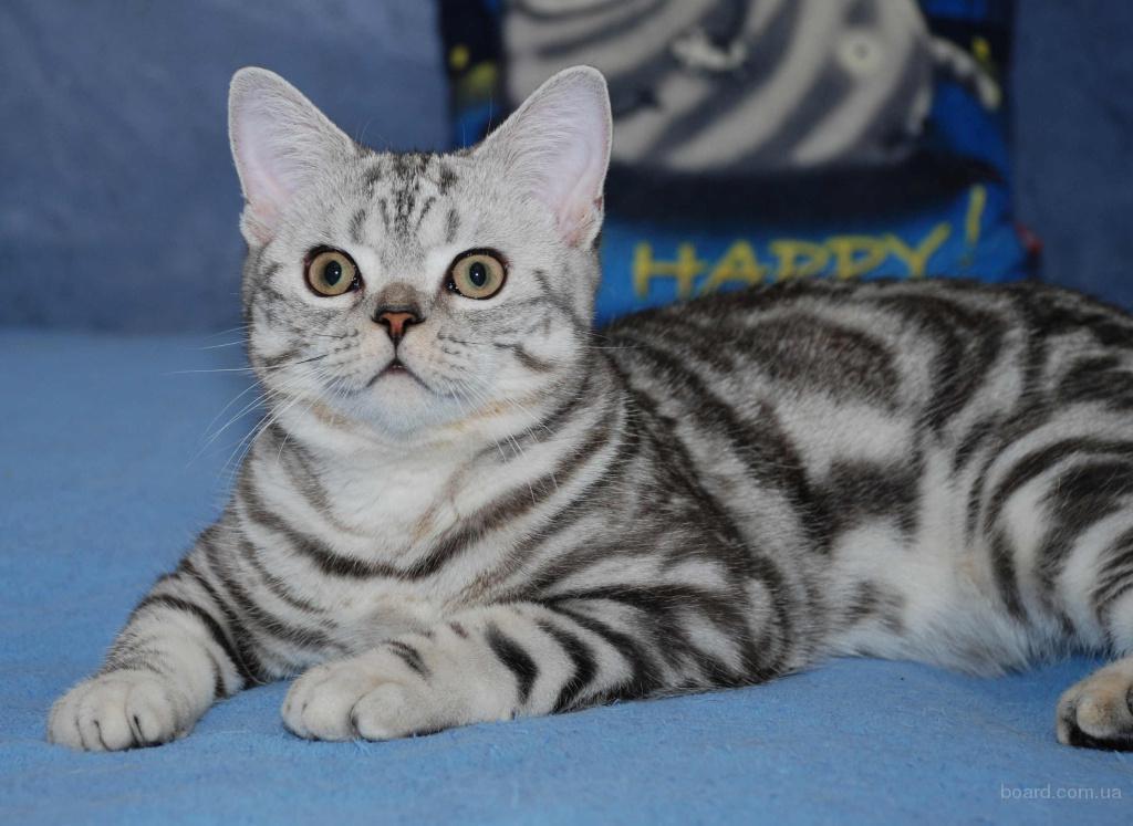 Киевский питомник предлагает британских котят вискас