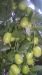 Саженцы зизифуса (Унаби). Морозостойкий.