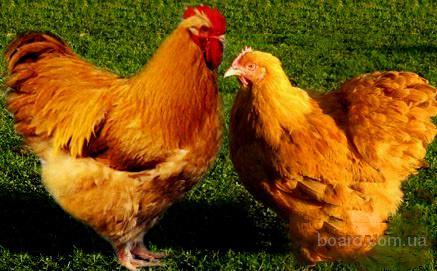 Продам куры мясо яичные ред бро