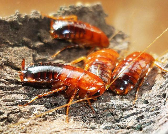 Продам Туркменские тараканы (Shelfordella tartara)