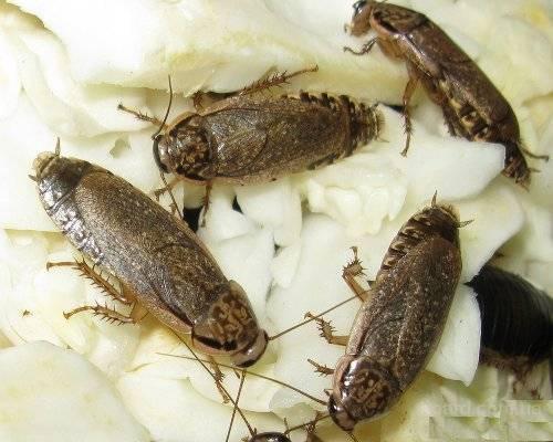 Продам Мраморные тараканы (Nauphoeta cinerea)