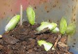 Продам Банановые тараканы - зеленые(Panchlora nivea)