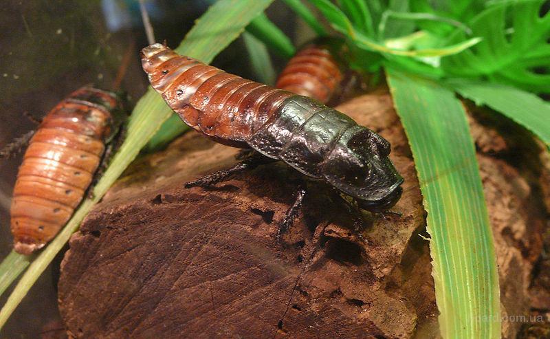 Продам Мадагаскарские тараканы (Gromphadorhina portentosa)