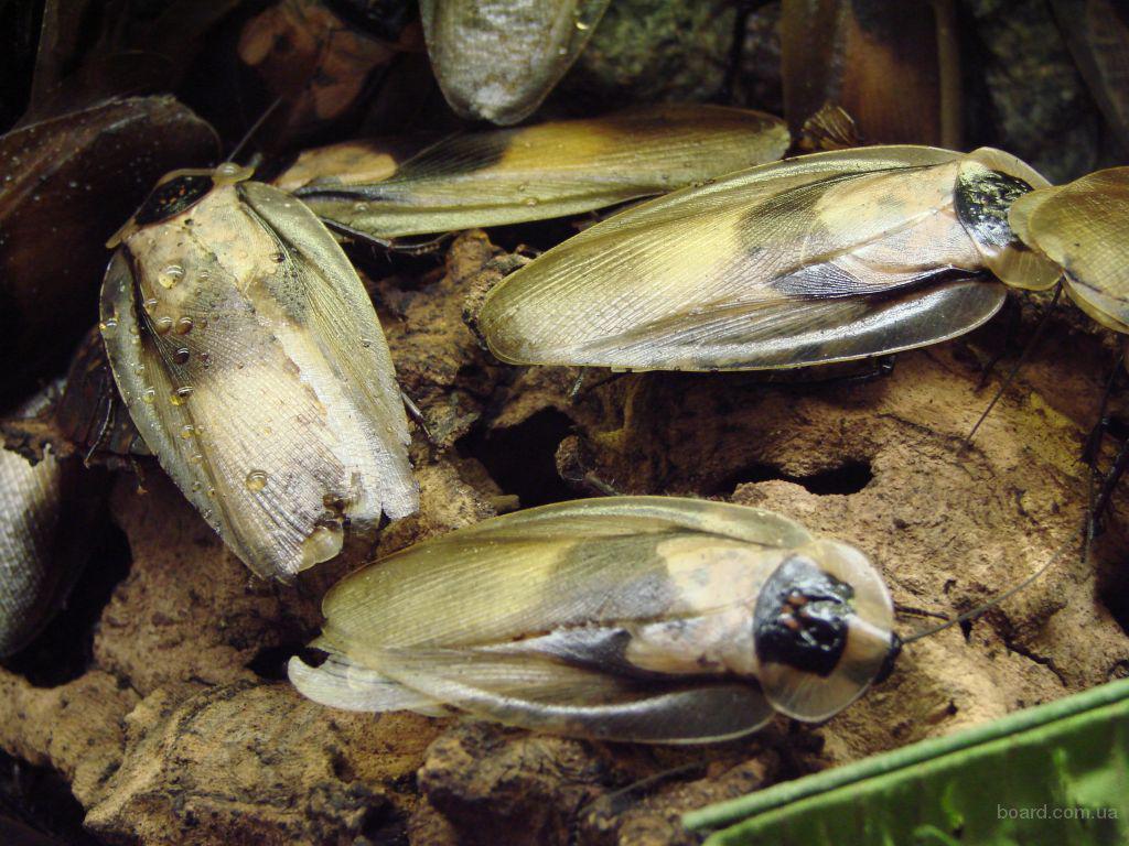 Продам Тараканы мертвая голова (Blaberus craniifer)
