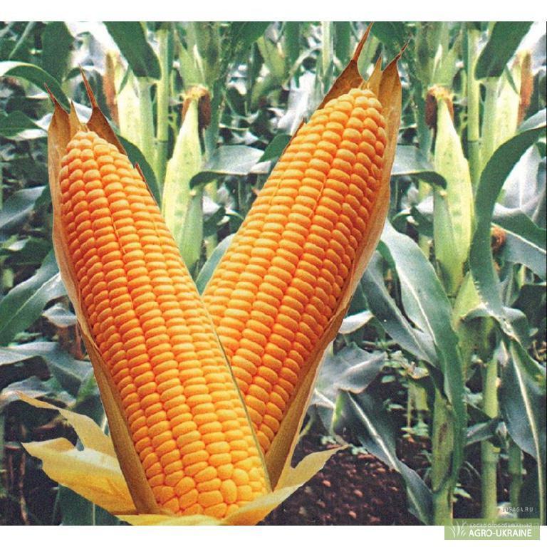 Куплю кукурузу из хозяйства