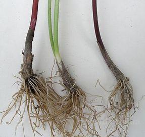 Луковицы черемши сибирской