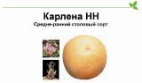 Семенной ранний сорт картофеля Карлена