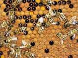Пчелопакеты.Пчелосемьи.Украинская степовая