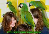 Ручные Ары. Говорящий попугай