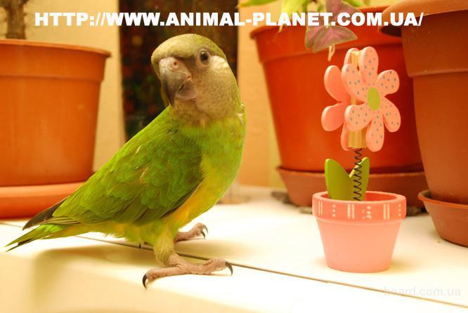 Продажа ручных попугаев. Птенец  - Сенегал