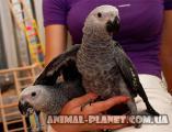 Продается Жако – самый талантливый попугай.