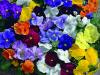 Продам семена цветов компании Сингента