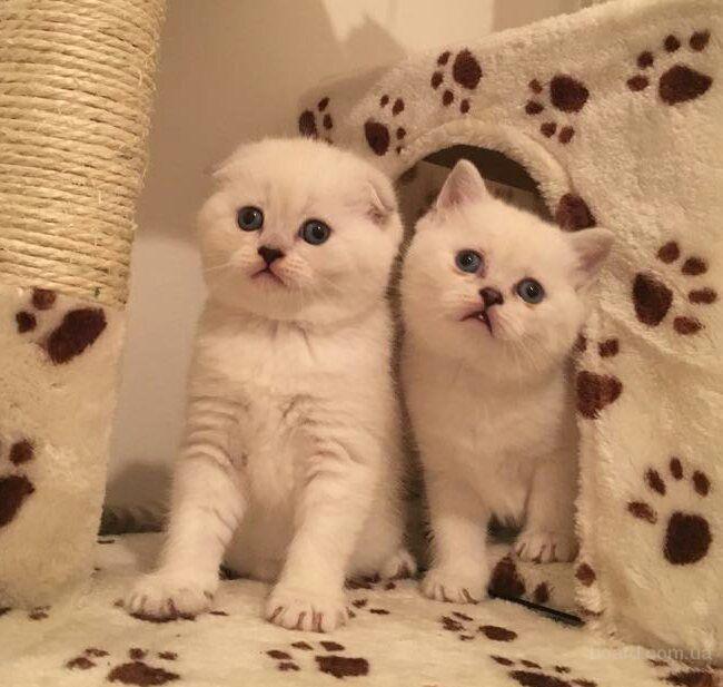 Шотландские котята. Красавцы, плюшевые медвежата