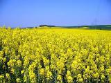Семена озимого рапса (лучшие сорта) и гибриды (Лембке, Пионер, Монсанто)