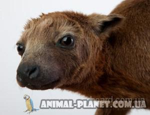 В продаже малыши кенгуру Беннета