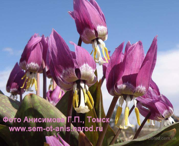 Цветы кандыка сибирского