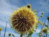 Альфредия - уникальное лекарственное растение для улучшения памяти. Семена почтой по России и СНГ.