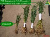 Лупус - Семена озимой пшеницы (Saatbau Linz, Австрия)