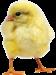 Суточные цыплята-бройлера кросс росс-708.