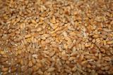 Куплю фуражну пшеницю