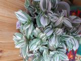 Tradescantia fluminensis variegata